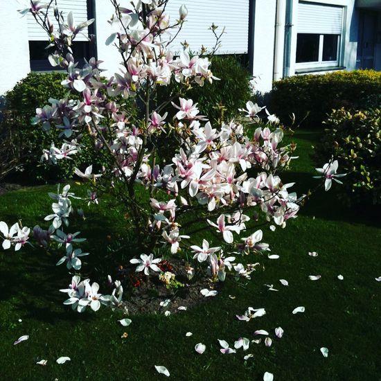 White magnolia Taking Photos