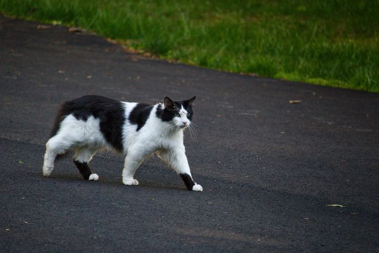 Side view of cat walking on road