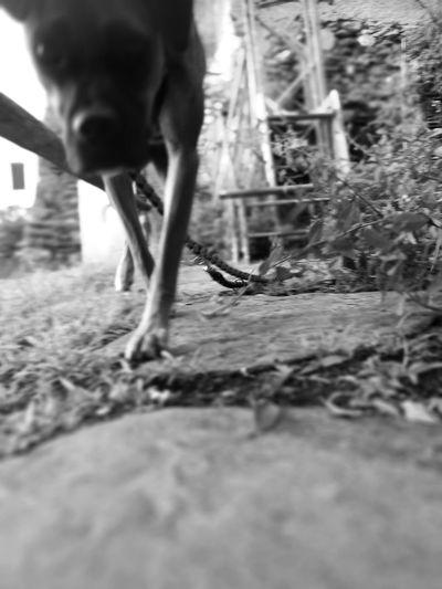 Dog Walking Spazieren Selective Focus Searching Suchen  Liebe Hund Schwarzweiß Schnauze