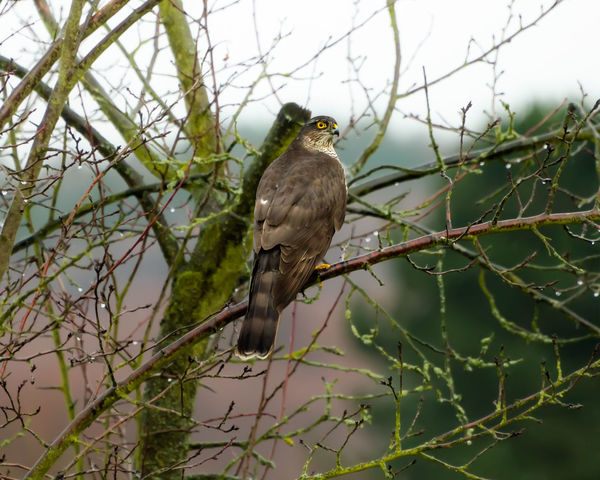 An eurasian sparrowhawk, Accipiter nisus, perched on a raised branch in a fruit tree in a garden waiting for the prey, Germany Accipiter Nisus Eurasian Sparrowhawk European Birds Raptor Sparrowhawk Animal Themes Animal Wildlife Animals In The Wild Back Lit Bird Bird Of Prey Branch Garden Germany Looking Nature Northern Sparrowhawk Outdoors Outside Perching Predatory Tree Watching Wild Wildlife