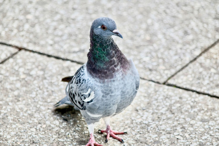 Close-up of pigeon on footpath