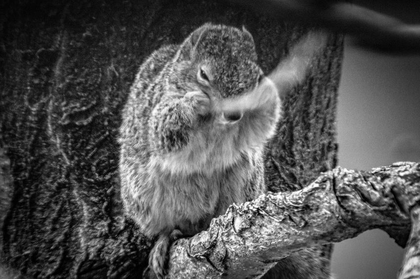 Animal Black And White Monochrome Nature Squirrel Life Squirrel In A Tree Animal Portrait EyeEm Selects Day Close-up Sunlight Nature Portrait Textured  Mammal One Animal Tree Outdoors
