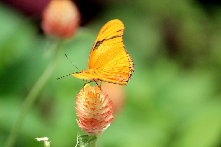 Animal Animal Themes Animal Wildlife Animal Wing Animals In The Wild Beauty In Nature Butterfly - Insect Close-up Day Flower Flower Head Flowering Plant Focus On Foreground Fragility Freshness Insect Invertebrate Nature No People One Animal Orange Color Outdoors Plant Pollination Vulnerability