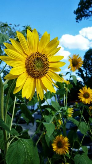 43 Golden Moments Sunflower Eye4photography  Tadaa Community Beautiful Mobile Photography Flowers Nature