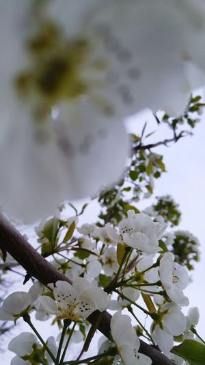 More pear blossoms Pear Blossom Blossom Pear Pretty White Spring Is Here