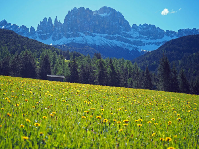 flowers and Rosengarten Catinaccio Dolomites Italy Dolomites Southtyrol  Südtirol Tires Beauty In Nature Catinaccio Day Field Grass Growth Italy Landscape Mountain Mountain Range Nature No People Outdoors Rosengarten Scenics Sky Tranquil Scene Tranquility Tree