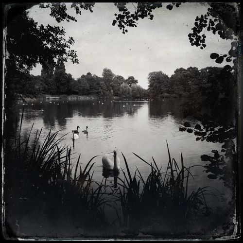 Swans Mobilephotography Iphone5s IPhoneography Monochrome Hipstamatic