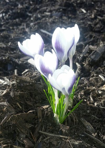 spring!!!!! 🤗 Crocusesinbloom Spring Is Coming  Sunisout Growth Petal Fragility Nature Flower Head Freshness Beauty In Nature