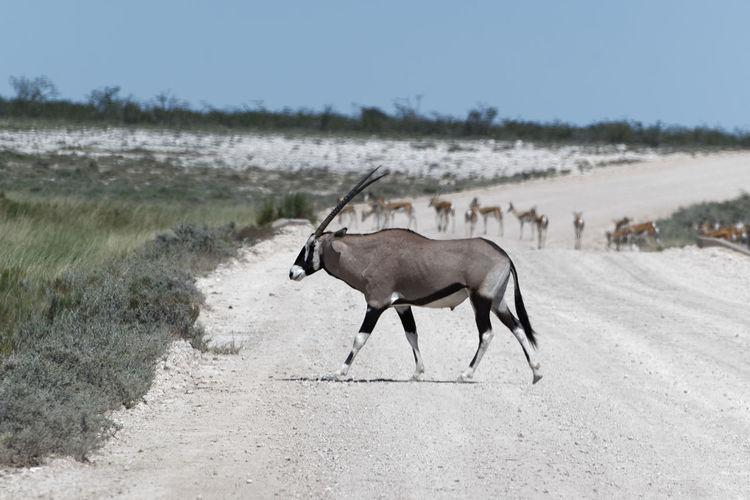Side view of antelope walking on field
