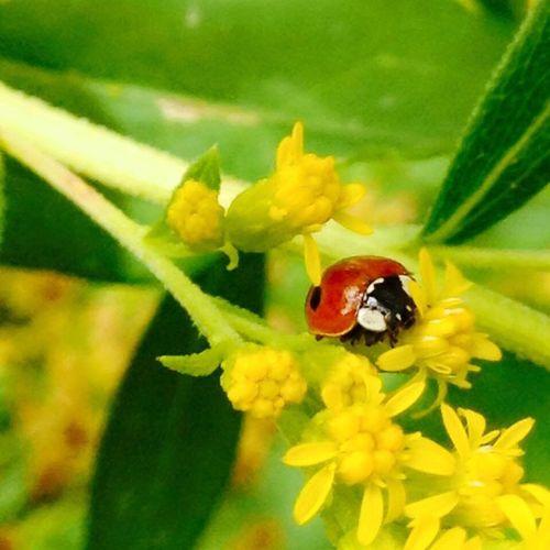 Close-up of ladybug perching on fresh yellow flower