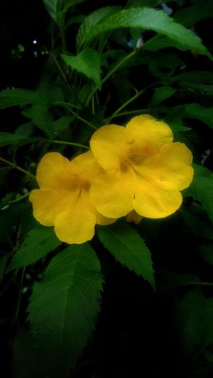 Beautiful yellow flower Flower Yellow Fresh Blossom Blossomflower Colorful Flora Colorfulflower Beautiful Nature Beautifulflower  Floral Beauty In Nature Nature Freshness Yellow Flower