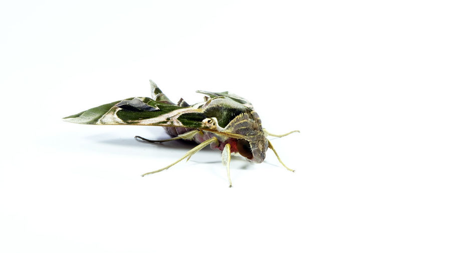 Close-up of insect over white background