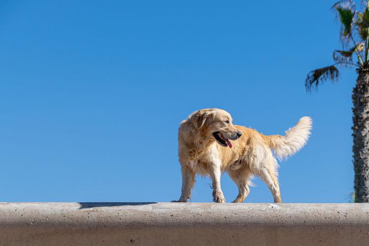 Golden retriever dog on a sea wall