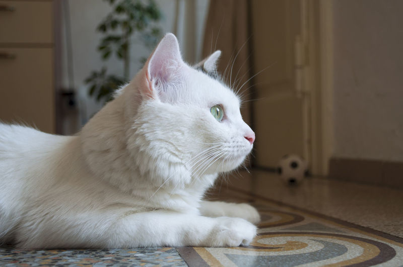 White cat sitting on floor at home