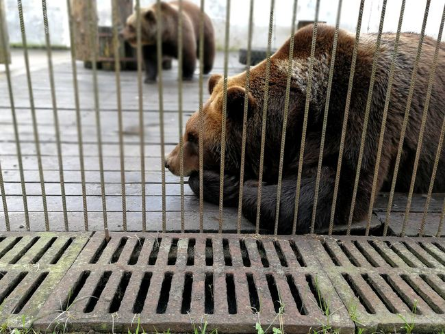 Animal Themes Mammal Cage Water No People Outdoors Domestic Animals Day Close-up Bears🐻 Caged Caged Freedom Animals In The Wild Nature Animal Wildlife