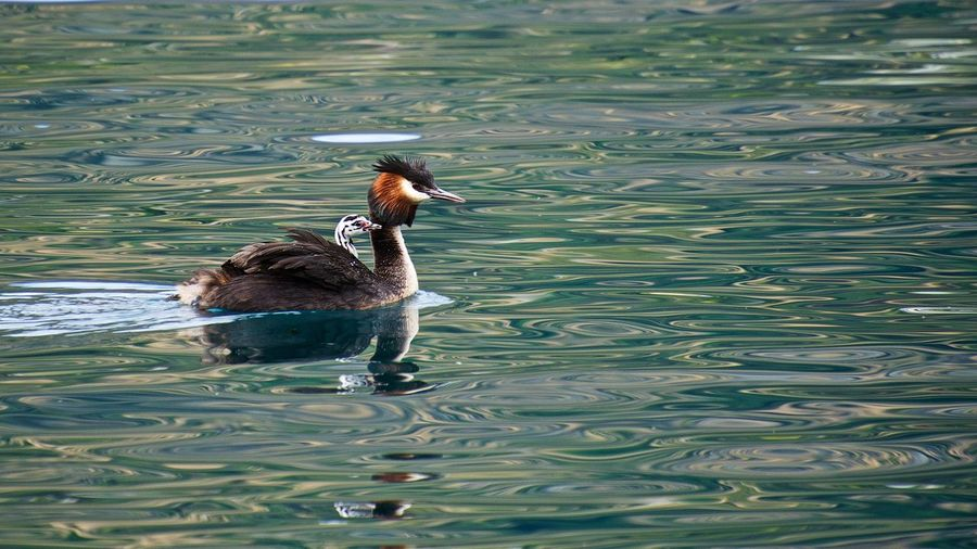 Grebe with chick Animal Themes Animal Wildlife Animals In The Wild Australasian Crested Grebe Bird Bird With Chick Crested Grebe Day Grebe High Angle View Lake Nature No People One Animal Outdoors Swimming Water Water Bird Waterfront