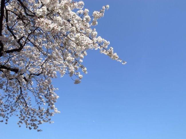 Cherry Blossoms, Blue Sky, and the Moon How Near... How Far Moon Hello Moon Simplicity