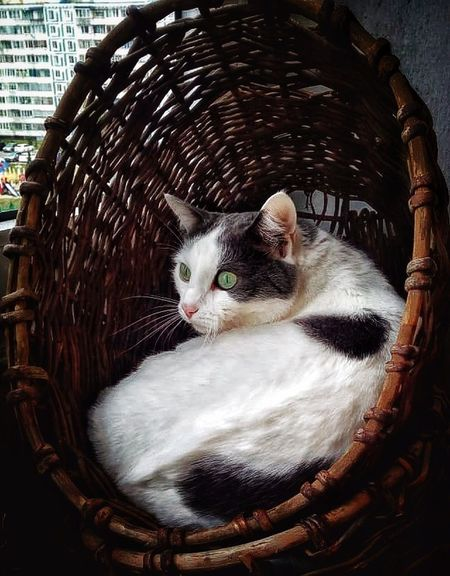 Basket Pets Cat Feline Mammal Pets Vertebrate One Animal Domestic Animals Domestic No People Relaxation Day Domestic Cat Basket