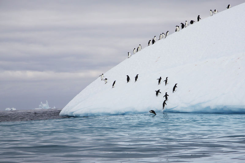 Large Group Of Penguins Climbing Iceberg