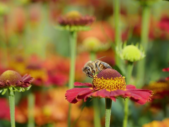 Honeybee Sneezeweed Sonnenbraut Animal Detail Macro Perspective Nature Natural Light Multi Colored Bee Wildbee Animals In The Wild Flower Perching Insect Pollination Animal Themes Close-up Plant Pollen In Bloom Blooming Symbiotic Relationship