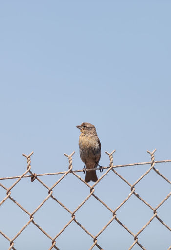 Female house finch bird with a brown body sits on a fence ready to fly off at a marsh in Southern California in the United States Animal Themes Animal Wildlife Animals In The Wild Bird Clear Sky Day Finch House Finch House Finch - Female Mourning Dove Nature No People One Animal Outdoors Perching Sky Wildbird