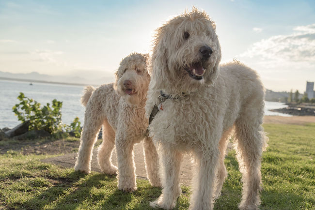 Two doodle dogs at a seaside park at sunset. Dogs Doodle Goldendoodles Happy Service Animals Animal Themes Buddies Cute Day Dog Domestic Animals Field Fluffy Furry Glowing Grass Labradoodles Mammal Nature No People Outdoors Pets Shaggy Sky Walking