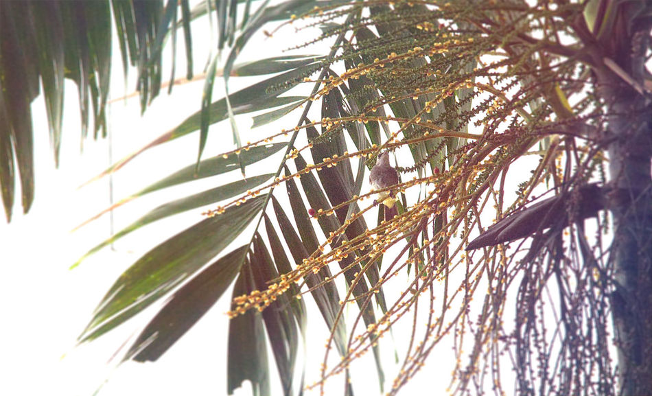 Sugar loving bird Birds Of EyeEm  Nature Palm Tree Travelling Bird Low Angle View Sugar Palm Summer Tree Tropical