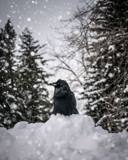 A raven perched atop snow surrounded by snowfall taken near Lake McDonald in Glacier National Park, Montana. Animal Themes Animal Wildlife Animals In The Wild Bird Cold Temperature Day Nature No People One Animal Outdoors Perching Snow Tree Winter