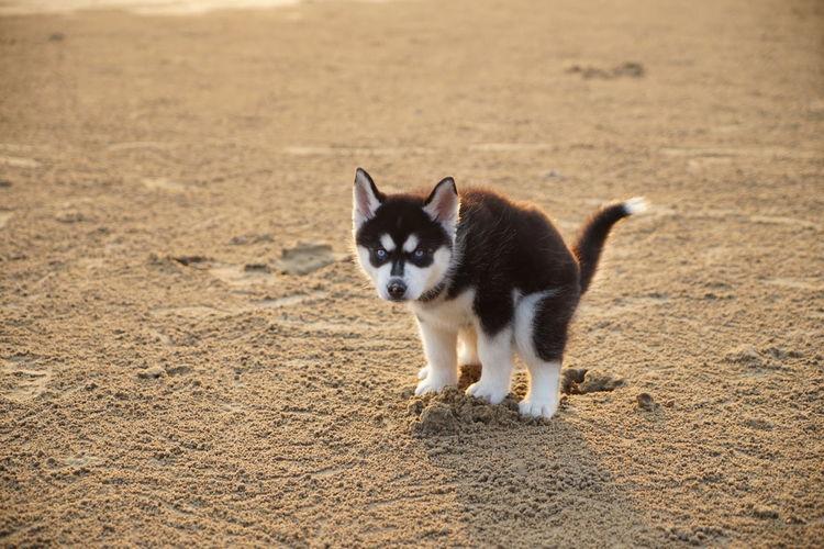 Husky Puppy Defecating
