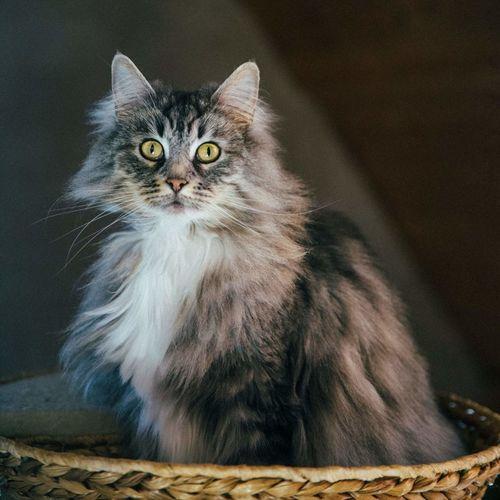 Close-up portrait of alert cat in wicker basket