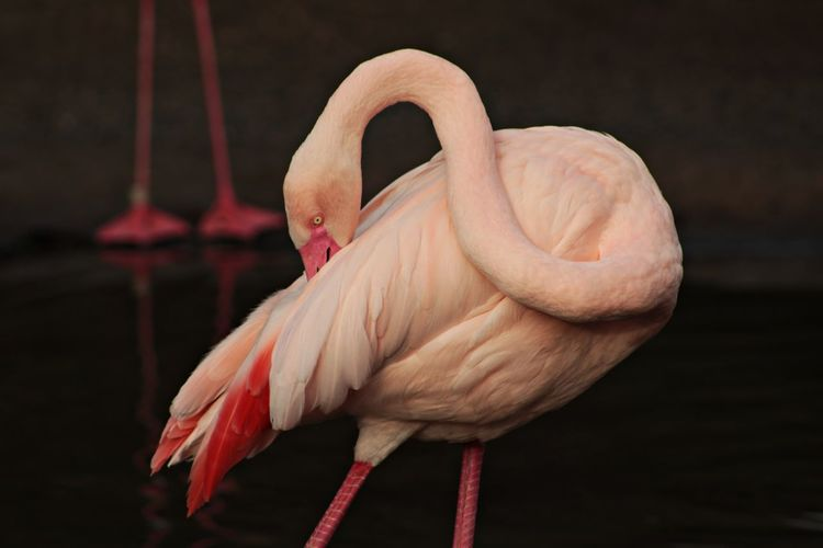 Bird Close-up Flamingo No People Outdoors Pink Wildlife Zoo