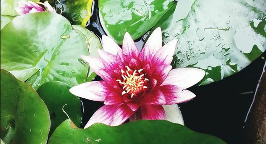 Flower Nature Fragility Petal Beauty In Nature Flower Head Leaf Freshness Plant Close-up Day Water Lily No People Outdoors Lotus Water Lily Water