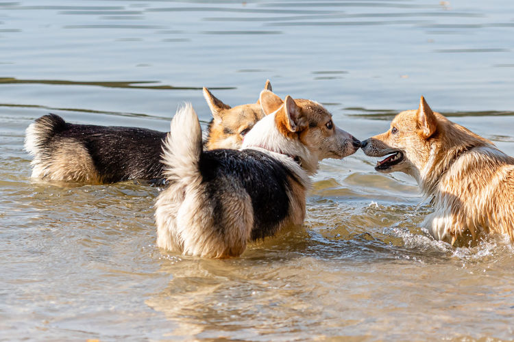 Herd of a dog in the lake