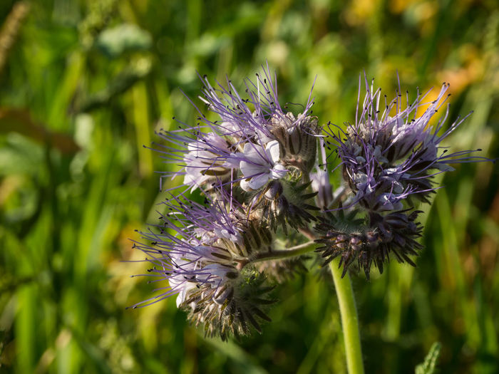 Green Phacelia Scorpionweed Bloom Blooming Blossom Close-up Day Field Flower Flower Head Flowering Plant Nature Outdoor Photography Outdoors Outside Petal Plant Pollination Purple Scorpion Weed Season  Sunlight Violet
