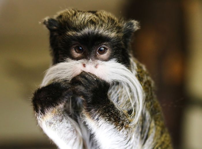 Cute Emperor Tamarin Monkey Animal Themes Close-up Day Indoors  Mammal Monkey No People Portrait