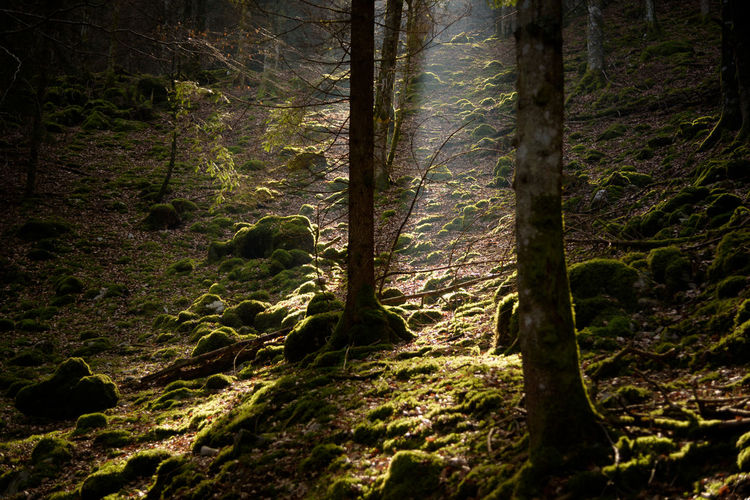 Erve Erve Miozzo Photo Miozzo Non-urban Scene Sunlight Day Moss Tranquil Scene Scenics - Nature Growth Tree Trunk Trunk No People Beauty In Nature Tranquility Forest Tree Land Rainforest Green Color Outdoors Plant Nature WoodLand Trail