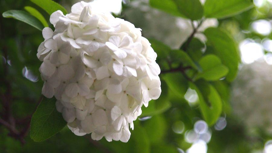 Spring Viburnum Macrocephalum 木绣球 White White Flower From My Point Of View Flower Hello World Springtime Flowers EyeEm Nature Lover