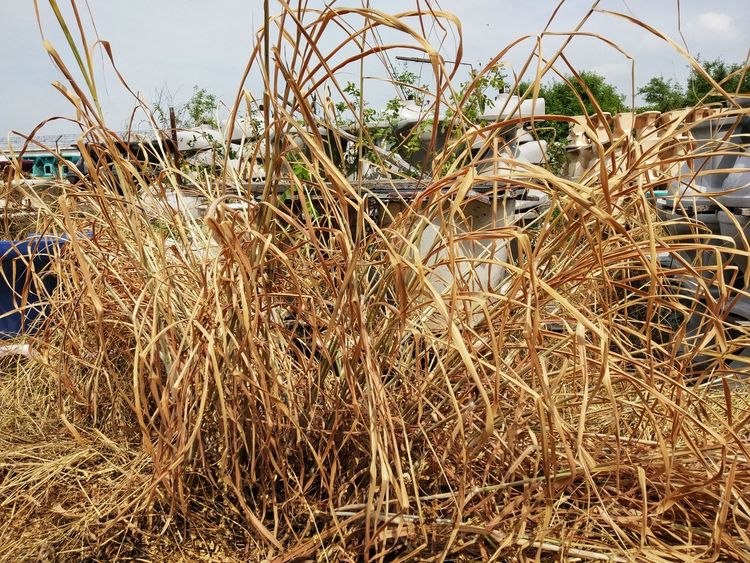 The grass is worthless Cereal Plant Field Sky Grass Close-up Timothy Grass Barbed Wire Straw