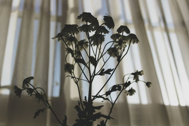 Daisies in the dark Flower By The Window Nature Photography Nature Flower In The Sun Window Morning Morning Lights Beauty In Nature Daisy Spring Springtime Spring Flowers Flower Tree Branch Curtain Leaf Home Interior Close-up Plant Sky Wilted Plant Dead Plant Dry Dried Wilted Dead Tree Dried Plant Flowering Plant The Traveler - 2018 EyeEm Awards