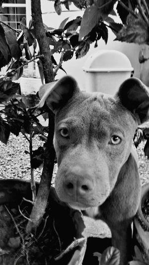 """My American Bully """"Blue"""" I Love My Dog First Eyeem Photo"""