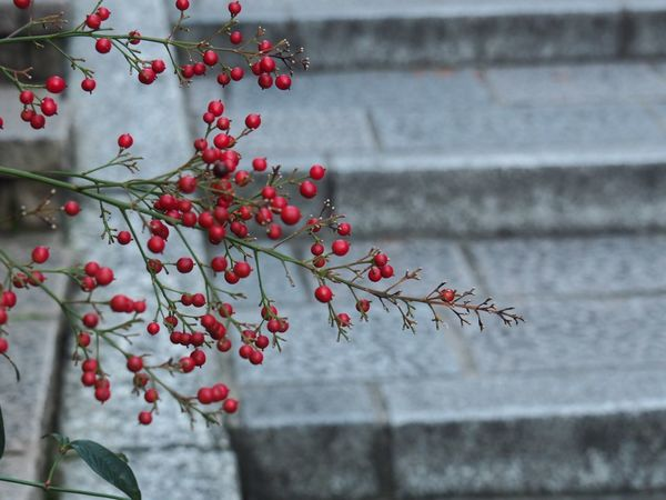 Kyoto Japan ASIA Higashiyama Sannenzaka Sanneizaka Stairs Plant Red Outdoors No People Nature Beauty In Nature Growth Close-up Early Morning Autumn Olympus PEN-F