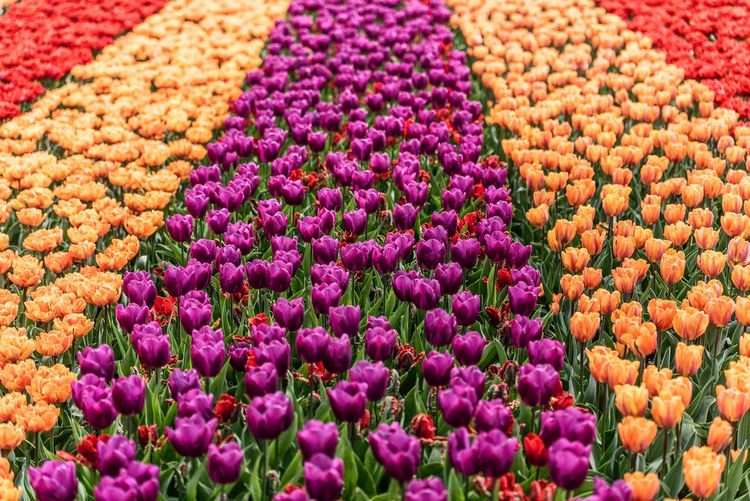 Keukenhof tulips in bloom Flowering Plant Multi Colored Flower Plant Freshness Beauty In Nature Full Frame Field Land Vibrant Color Flower Head No People Backgrounds Nature Summer Exploratorium
