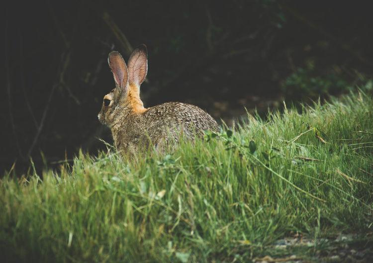 Close-up of rabbit on grassy field