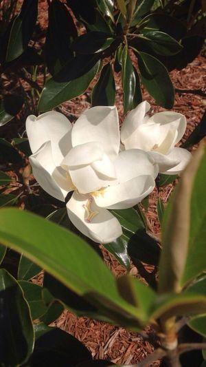 Magnolia flower. Flower Porn Flower_Collection Nature_collection Eye Em Best Shots -Flowers