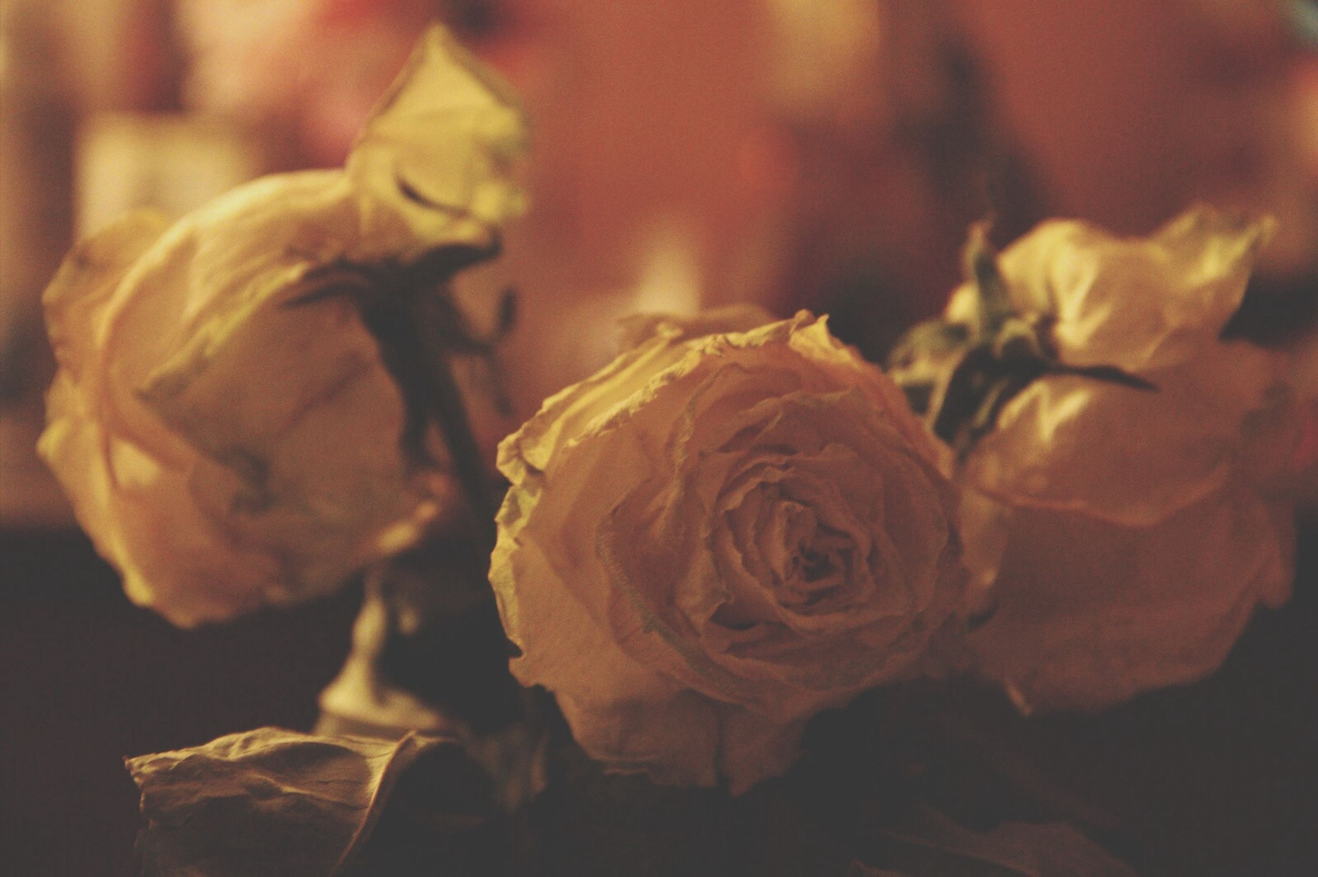 flower, close-up, petal, rose - flower, freshness, focus on foreground, flower head, fragility, indoors, yellow, beauty in nature, nature, selective focus, no people, growth, single flower, rose, plant, day, blooming