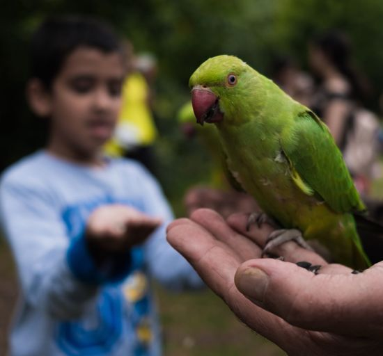 Real People Human Hand Bird One Person Holding Focus On Foreground Lifestyles Parrot Parakeet Animals In The Wild Human Finger Human Body Part Animal Wildlife One Animal Leisure Activity Budgerigar Outdoors Perching Rainbow Lorikeet Food Pet Portraits