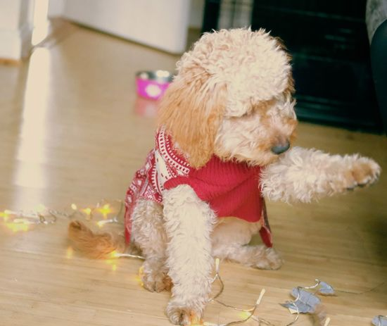 Christmas Labradoodle Xmas Christmas Labradoodle Pets Domestic Animals Mammal Animal Themes One Animal Indoors  Pet Clothing