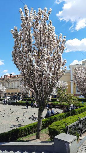 Cherry blossom tree by buildings against sky