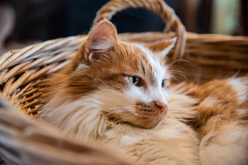 Closeup of orange and white adult tabby cat curled up and resting in a wicker basket with soft focus Animal Themes Close-up Companion Cozy Curled Up Cat Day Domestic Cat Fluffy Cat Happy Home Horizontal Landscape Laying Looking Right Love Male No People One Animal Orange And White Cat Pets Relaxing Soft Focus Tabby Cat Wicker Basket