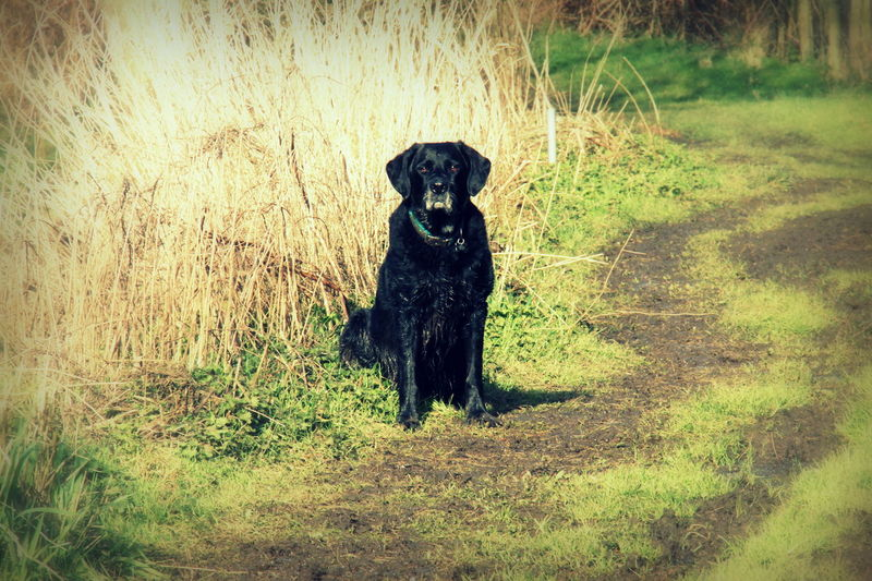 Staaaaay........staaaayyyyyyy!! Click ;-) Art Art And Craft Black Color Black Labrador Creativity Day Dog Dogs Of EyeEm Field Grass Grassy Green Color Growth Labrador Labrador Retriever Nature No People Outdoors Pet Photography  Pets Pets Corner Plant Rescue Dog Rescuedog Standing